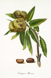 Spanish chestnut attached to his branch isolated on white background, and fruit section. Old botanical illustration realized in a detailed watercolor style by Giorgio Gallesio on 1817, 1839 Pisa Italy - 214588292
