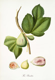 Fig, also known as heaven fig, fig tree leaves and fruit section isolated on white background. Old botanical detailed illustration by Giorgio Gallesio publ. 1817, 1839 Pisa Italy - 214588299
