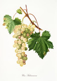 Isolated branch of white grapes, Salamanna grapes (Muscat Grape), vine leaf on white background. Old botanical illustration realized with a detailed watercolor by Giorgio Gallesio on 1817,1839 Italy - 214588447