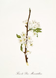 Isolated single branch of white pear flower vertical oriented on white background. Old botanical illustration realized with a detailed watercolor by Giorgio Gallesio on 1817,1839 Italy - 214588473