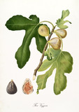 Fig, vezzoso fig, on a single branch with fig leaves on white background and fruit section. Old botanical illustration realized with a detailed watercolor by Giorgio Gallesio on 1817,1839 Italy - 214588478