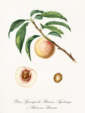 White peach, called Spiccagnola peach, on a single branch with leaves and isolated section of peach and kernel on white background. Old botanical illustration realized by Giorgio Gallesio on 1817,1839 - 214588605
