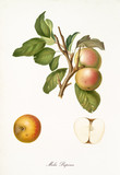Apple, called Pupina apple, on a single branch with leaves and isolated single apple section on white background. Old botanical illustration realized by Giorgio Gallesio on 1817, 1839 - 214588619
