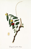 Jujubes on a single jujube branch and single fruit section isolated on white background. Old botanical illustration realized with a detailed watercolor by Giorgio Gallesio on 1817, 1839 - 214588636