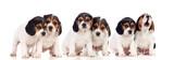 Six beautiful beagle puppies - 214588642