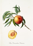 Peach, called Damaschina Duracina Peach, on a single branch with leaves and isolated single peach section on white background. Old botanical illustration realized by Giorgio Gallesio on 1817, 1839 - 214588661