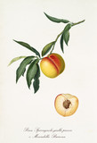 Peach, called yellow Spiccagnola Peach, on a single branch with leaves and isolated single peach section on white background. Old botanical illustration realized by Giorgio Gallesio on 1817, 1839 - 214588663