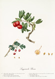 Red azarole fruit on a single bended branch and detail of a single fruit with its section and kernel.Old botanical illustration realized by Giorgio Gallesio on 1817, 1839 - 214588676