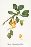 Yellow Plum, called summer damaschina plum, on a single branch with leaves and isolated single peeled plum on white background. Old botanical illustration realized by Giorgio Gallesio on 1817, 1839 - 214588681
