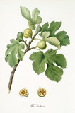 Couple of figs on their branch with fig leaves and section of a single fruit isolated on white background. Old botanical detailed illustration watercolor by Giorgio Gallesio on 1817, 1839 - 214588813