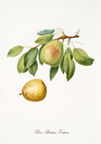 Single green pear with a little part of branch and leaves and isolated yellow pear on white background. Old botanical detailed illustration by Giorgio Gallesio on 1817, 1839 - 214588815