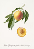 Single peach on part of peach branch with leaves and isolated single fruit section on white background. Old botanical detailed illustration realized by Giorgio Gallesio on 1817, 1839 - 214588831