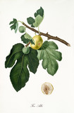 Fig, called Albo fig, on its single branch with fig leaves and isolated single fruit section on white background. Old botanical detailed illustration realized by Giorgio Gallesio on 1817, 1839 - 214588851