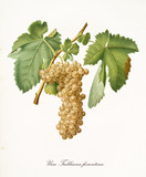 White grape hanging from part of vine branch with leaves. All the elements are isolated over white background. Old detailed botanical illustration by Giorgio Gallesio published in 1817, 1839 - 214589011
