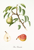 Pear hanging from its branch with leaves and section of the fruit. Elements are isolated over white background. Old detailed botanical illustration by Giorgio Gallesio published in 1817, 1839 - 214589037