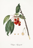 Red cherries hanging from their branch with leaves and section of the fruit. Elements isolated over white background. Old detailed botanical illustration by Giorgio Gallesio published in 1817, 1839 - 214589044