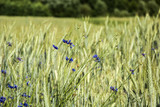 Blue cornflowers in the cereal - background