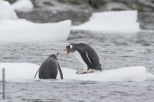 Foto Spatwand Antarctica Gentoo Penguins on the ice