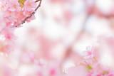 河津桜 - 214605805