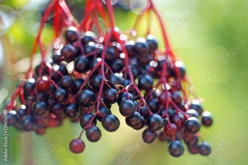 Leinwandbild Motiv closeup of blue elderberries