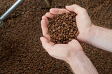 Top view of hands holding handful of freshly roasted coffee beans over coffee background