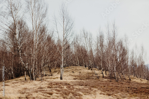 Plexiglas Berkenbos amazing landscape view of birch woods on hill top in sunny spring mountains