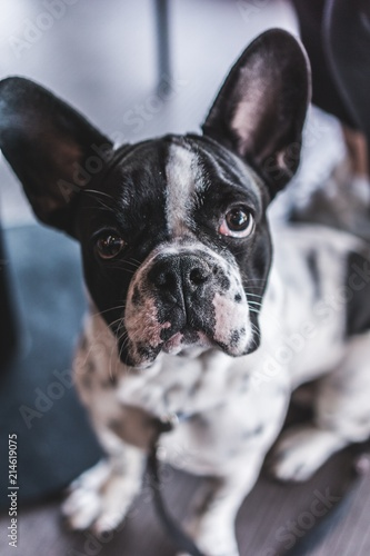 Canvas Franse bulldog french bulldog