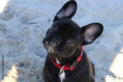 Foto Spatwand Franse bulldog Französische Bulldogge