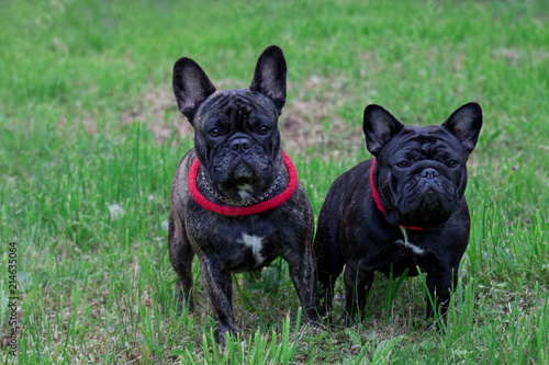 Canvas Franse bulldog Two french bulldogs is standing in the green grass. Pet animals.