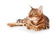 Quadro Bengal cat