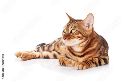 Foto Spatwand Kat Bengal cat