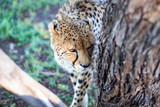 A cheetah sniffing a tree