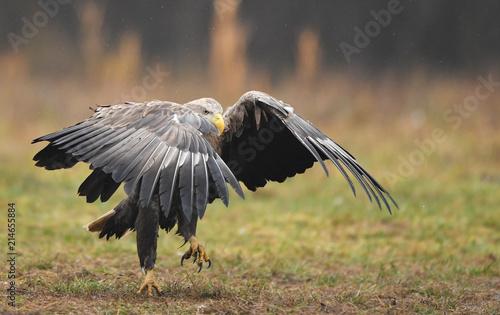 Canvas Eagle White tailed eagle (Haliaeetus albicilla)
