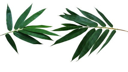 Dark green leaves of bamboo ornamental garden plant isolated on white background, clipping path included. © Chansom Pantip