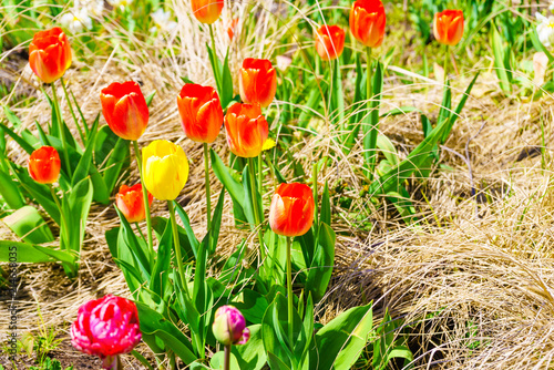 Fotobehang Tulpen Garden with many orange tulips