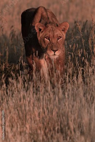 Foto Spatwand Lion Lioness Hunting at Dusk