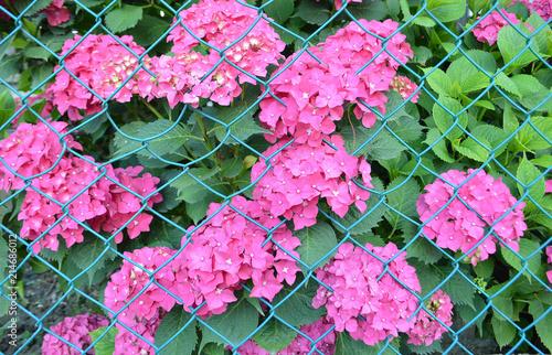 Foto Spatwand Hydrangea Pink hydrangea or hydrangea macrophylla