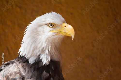 Canvas Eagle Closeup of American Bald Eagle bird outdoor. Haliaeetus leucocephalus. Brown with white head. Bird of prey found in North America.