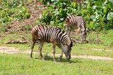 Zebras are several species of African equids united by their distinctive black and white striped coats. - 214700622