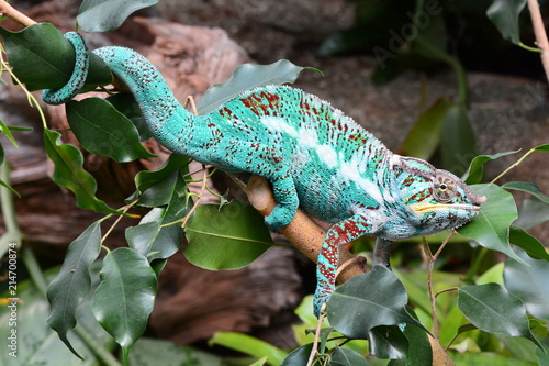 Plexiglas Kameleon A chameleon walks through its environment looking for lunch.