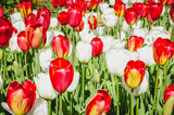 Colourful Tulips Close -up - 214701602