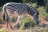 Zebra in Addo National Park, South Africa - 214711826