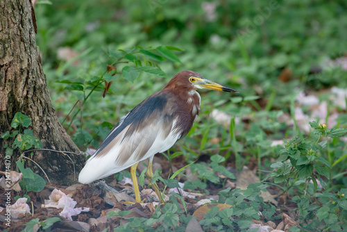 Chinese pond heron is an East Asian freshwater bird of the heron family.