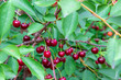 Beautiful, ripe, red cherries on the branches of a tree