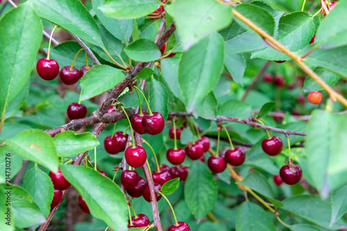 Foto Spatwand Kersen Beautiful, ripe, red cherries on the branches of a tree