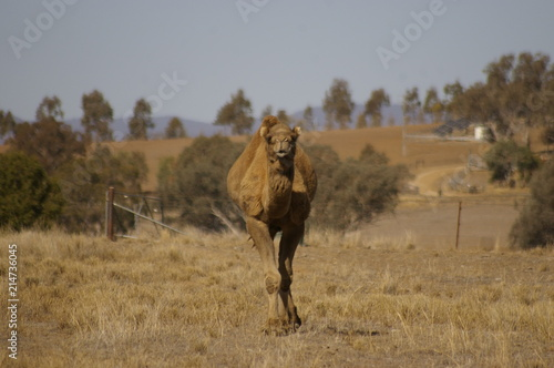 Canvas Kameel Australian domestic single humped Camel in a field on a farm in rural New South Wales, Australia