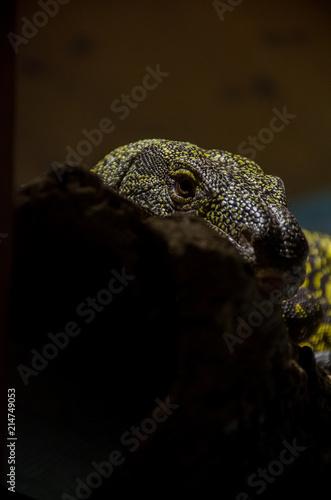 Plexiglas Kameleon Lizard