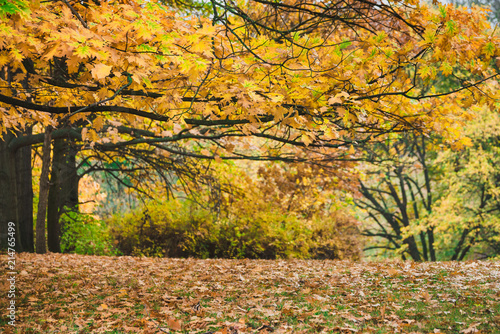 Canvas Honing Idillic autumn landscape of park, lawn, yellow trees