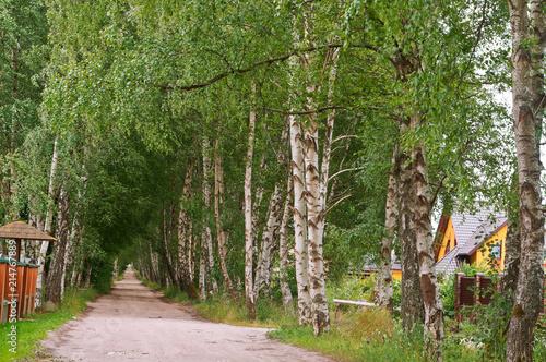 Foto Spatwand Berkenbos birch grove and a path in it, beautiful birch alley