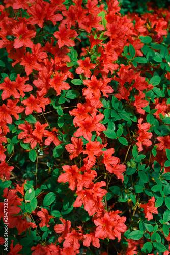 Canvas Azalea Red azalea bush in the garden